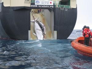 Una balenottera minore con il cucciolo issate a bordo di una baleniera giapponese