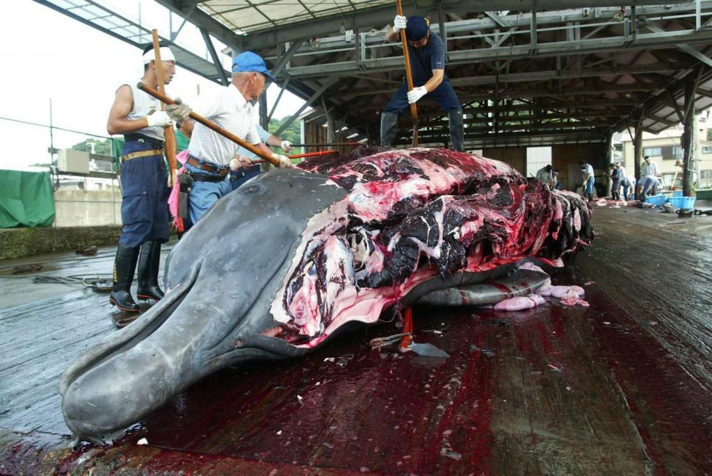 Balene: Corte Aja ordina a Giappone sospensione caccia