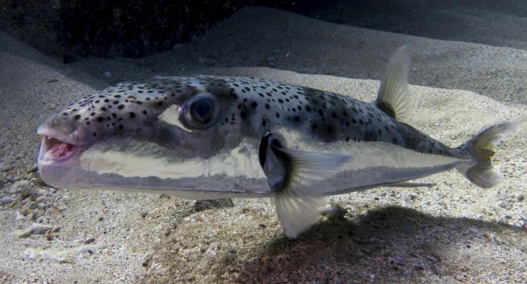 Lagocephalus-sceleratus