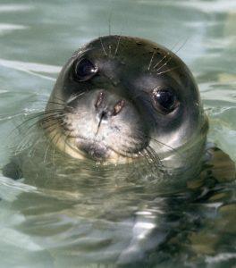 La-foca-monaca-Adriana